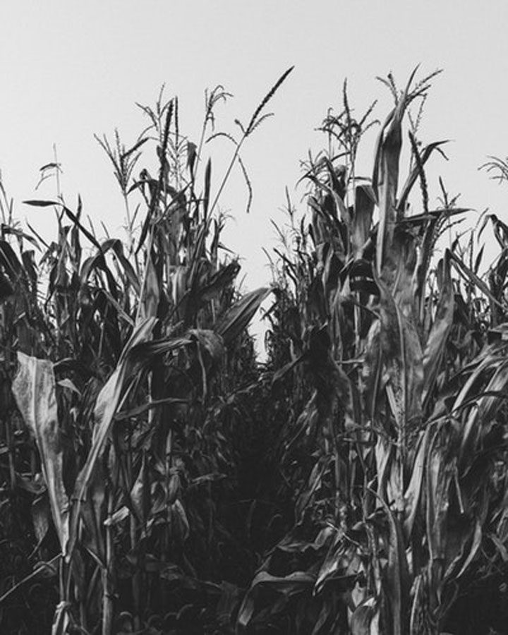 black and white cornfield - history of vegetarianism